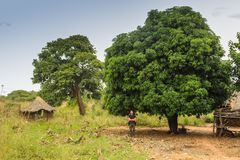 A young white male tourist stands on the background of a large avocado tree i royalty free stock photo