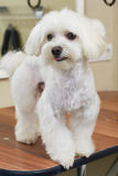 Young white maltese. Cute dog, close up. Dog breed from toy group Royalty Free Stock Photos