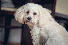 Young white maltese dog at home. With sad eyes Royalty Free Stock Images