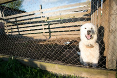 Young white Maremma Sheepdog smiles Royalty Free Stock Images