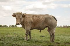 Young white muscular beef bull with horns is standing in a meadow. royalty free stock images