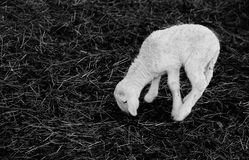 Young white newborn lamb walking with difficulty Royalty Free Stock Photography