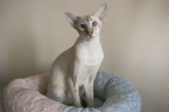Young white oriental cat with blue eyes sitting in. Young white oriental shorthair cat sitting in cat bed and looking in the camera Royalty Free Stock Photos