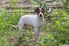 Young white Parson Russell Terrier. royalty free stock photos