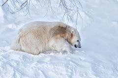Young white polar bear walking in deep snow. Winter seasonal northern landscape with cute furry big cub of white polar bear. Young animal is walking alone in stock photo