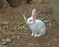 Young white rabbit Royalty Free Stock Photo