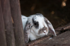 Young white rabbit Royalty Free Stock Photography