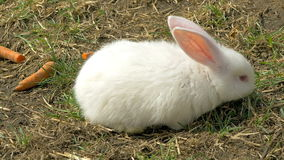 Young white rabbit eating grass stock video