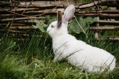 Young white rabbit in green grass Stock Images