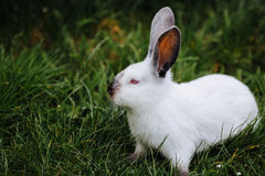 Young white rabbit in green grass in spring Stock Photos