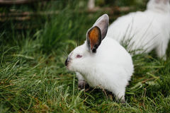 Young white rabbit in green grass in spring Stock Photography