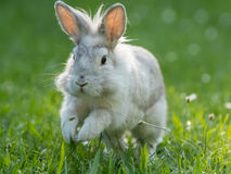 Young white rabbit hopping. A young white rabbit is hopping in the green grass Stock Photos