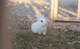 Free Young White Rabbit In The House Garden Grass Royalty Free Stock Images - 191687649