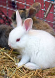 Young White Rabbit. Stock Photography
