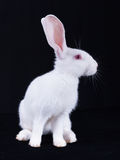 Young white rabbit in profile Stock Image