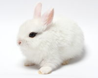 Young white rabbit  on white. Background Royalty Free Stock Photography