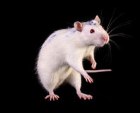 Young white rat posing on black Stock Images