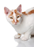 Young white and red cat Royalty Free Stock Images