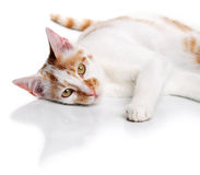 Young white and red cat Royalty Free Stock Photography