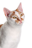 Young white and red cat Stock Image