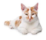 Young white and red cat Royalty Free Stock Photo