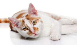 Young white and red cat Stock Photography