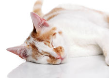 Young white and red cat Royalty Free Stock Photos