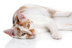 Young white and red cat Stock Photos