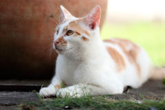 Young white and red cat laying down in the garden Stock Image