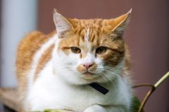 Young white-red-headed cat is sitting pensively. A young white-red-headed cat is sitting pensively royalty free stock photos