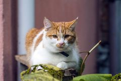 Young white-red-headed cat is sitting on the railing. A young white-red-headed cat is sitting on the railing stock photos
