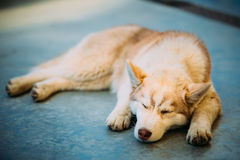 Young White And Red Husky Puppy Eskimo Dog. Sleeping On Floor royalty free stock photography