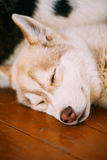 Young White And Red Husky Puppy Eskimo Dog Stock Images