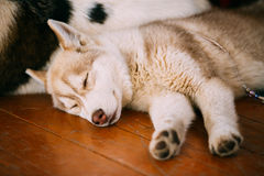Young White And Red Husky Puppy Eskimo Dog. Sleeping On Wooden Floor royalty free stock photo