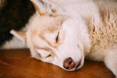 Young White And Red Husky Puppy Eskimo Dog Royalty Free Stock Photography