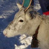 Young white Reindeer / Rangifer tarandus Royalty Free Stock Photos
