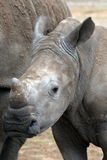 Young white rhino Stock Image