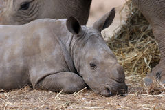 Young white rhino Stock Images