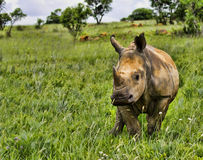 Young White Rhino Stock Photo