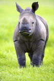 Young White Rhino. A close-up of a White Rhino calf looking at the camera Royalty Free Stock Photo