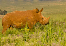 Young white rhino Royalty Free Stock Image