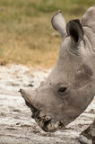 Young White Rhino. A close up portrait of a young White Rhinocores stock photos