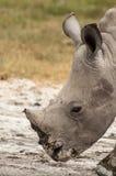Young White Rhino Stock Photos