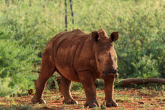 Young white rhino. Full portrait of a young white rhino looking at camera Royalty Free Stock Photography