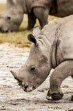 Young White Rhino Walking Stock Image