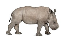 Young White Rhinoceros or Square-lipped rhinoceros - Ceratotheri Royalty Free Stock Images