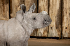 Young White Rhinoceros or Square-lipped rhinoceros Stock Image