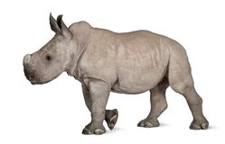 Young White Rhinoceros or Square-lipped rhinoceros - Ceratotheri Stock Photo