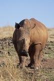 Young White Rhinocerus. Close-up of young White Rhinocerus; Ceratotherium simum stock photos