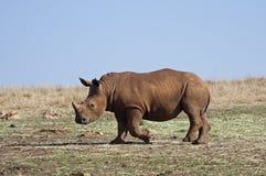 Young White Rhinocerus;. Ceratotherium simum stock photos